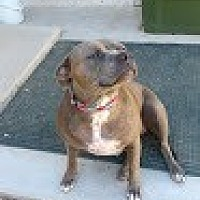 Pit Bull Terrier/Terrier (Unknown Type, Medium) Mix Dog for adoption in Phoenix, Arizona - Missy