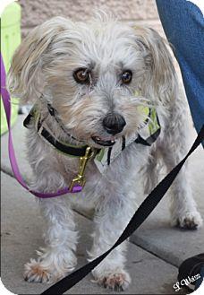 Maltese/Poodle (Miniature) Mix Dog for adoption in Ogden, Utah - Millie