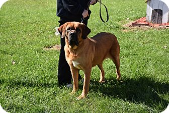 Mastiff Mix Dog for adoption in North Judson, Indiana - Mopsy