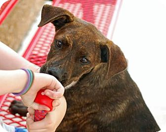 Plott Hound Mix Puppy for adoption in Springtown, Texas - Skippy