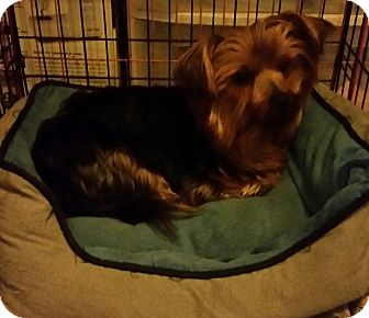 Yorkie, Yorkshire Terrier Dog for adoption in temecula, California - smokey