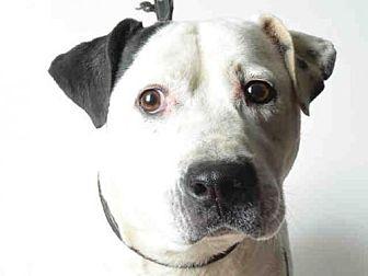 Pit Bull Terrier Mix Dog for adoption in Ukiah, California - CLOVER