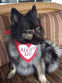 Keeshond Dog for adoption in Southern California, California - MADI--ADOPTED WITH KATIE!