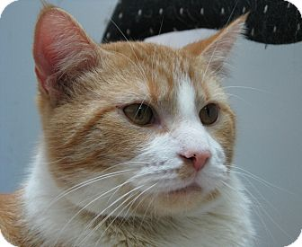 Domestic Shorthair Cat for adoption in New Kensington, Pennsylvania - Hiccup