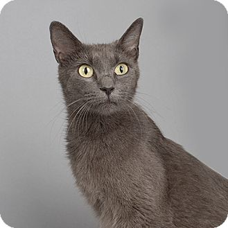 Domestic Shorthair Cat for adoption in Wilmington, Delaware - Magnolia