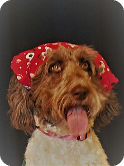 Labradoodle Mix Dog for adoption in LaGrange, Kentucky - Arrabella