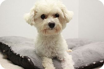 Maltese/Poodle (Toy or Tea Cup) Mix Dog for adoption in Austin, Texas - Lizzo