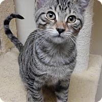 Adopt A Pet :: French Frie - Cloquet, MN