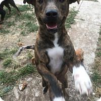 Adopt A Pet :: Truman - Denver, CO