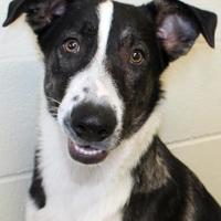 Adopt A Pet :: Chief - Victoria, TX