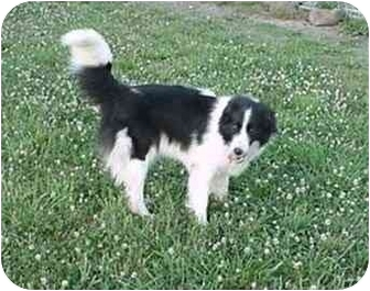 Border Collie Dog for adoption in Tiffin, Ohio - Penny-ADOPTED!