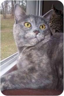 Calico Cat for adoption in Waynesburg, Pennsylvania - Kate