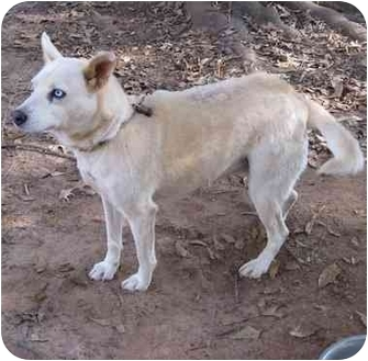 Husky Mix Dog for adoption in Conyers, Georgia - Polar Bear