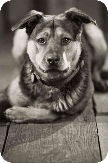 Rottweiler Mix Dog for adoption in Portland, Oregon - Max