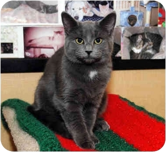Domestic Shorthair Cat for adoption in Farmingdale, New York - Avery