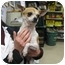 Photo 2 - Chihuahua Dog for adoption in Freehold, New Jersey - CHIKA