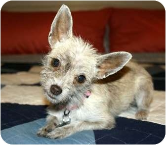 Terrier (Unknown Type, Small)/Chihuahua Mix Dog for adoption in Yorba Linda, California - Elvie - 5 lbs.