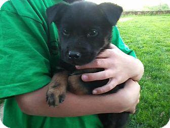 Australian Shepherd Mix Puppy for adoption in Salem, Oregon - Romeo