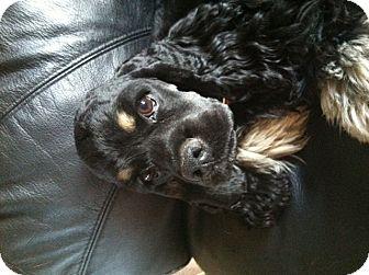 Cocker Spaniel Mix Dog for adoption in Chewelah, Washington - Cooper