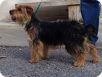 Yorkie, Yorkshire Terrier Dog for adoption in Spring Valley, New York - Sky