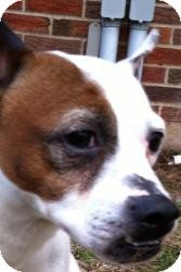 Jack Russell Terrier Mix Dog for adoption in Berlin, Connecticut - Patches