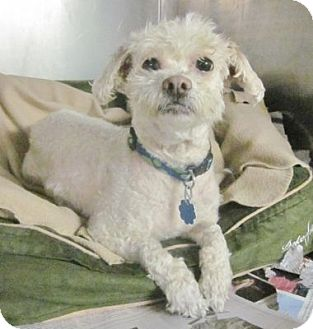 Poodle (Miniature) Mix Dog for adoption in Beacon, New York - Taffy
