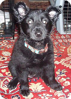 Collie/Retriever (Unknown Type) Mix Puppy for adoption in CHICAGO, Illinois - FRED