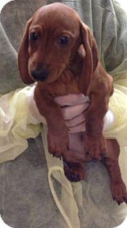 Dachshund Mix Puppy for adoption in Lancaster, Ohio - Milo