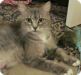 Domestic Mediumhair Cat for adoption in Seminole, Florida - Lady Jane Grey