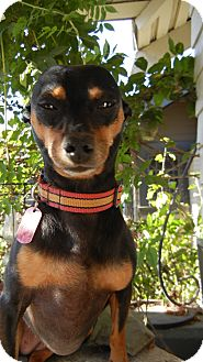 Miniature Pinscher/Chihuahua Mix Dog for adoption in Los Angeles, California - Summer