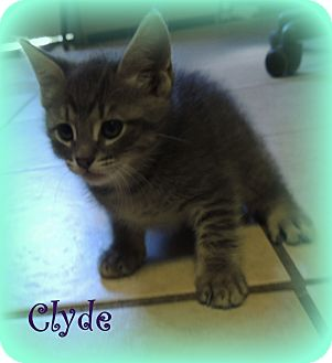 Domestic Shorthair Kitten for adoption in Hammond, Louisiana - Clyde