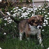 Adopt A Pet :: Diesel - Broomfield, CO
