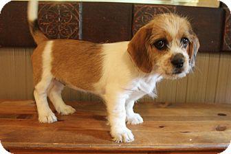 Shih Tzu/Dachshund Mix Puppy for adoption in Wytheville, Virginia - Honey Bun