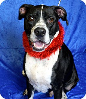 Boxer Mix Dog for adoption in Jackson, Michigan - Lucky