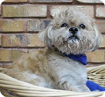 Lhasa Apso/Poodle (Miniature) Mix Dog for adoption in Benbrook, Texas - Goldie