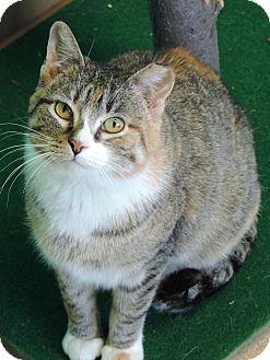 Domestic Shorthair Cat for adoption in Brookings, South Dakota - Amaretto