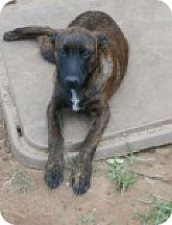 Black Mouth Cur Mix Puppy for adoption in Olympia, Washington - Bergen