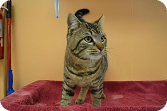 Domestic Shorthair Cat for adoption in East Smithfield, Pennsylvania - Macho