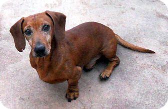 Dachshund Dog for adoption in Oakley, California - Red