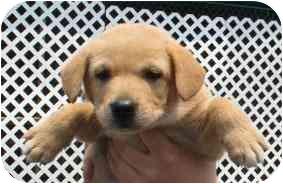 Labrador Retriever Mix Puppy for adoption in Cumming, Georgia - July