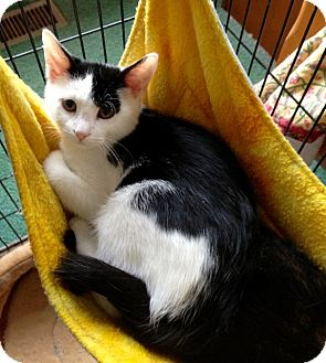 Domestic Shorthair Kitten for adoption in Colmar, Pennsylvania - Maddie