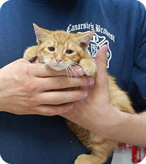 Domestic Shorthair Kitten for adoption in Brooklyn, New York - Werecat