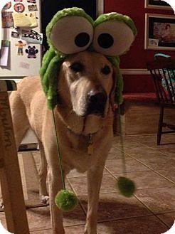 Labrador Retriever Dog for adoption in Sinking Spring, Pennsylvania - Molly