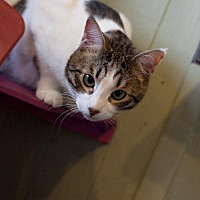 Domestic Shorthair Cat for adoption in Stone Mountain, Georgia - Hank