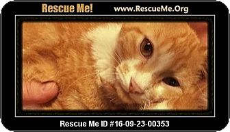Domestic Shorthair Kitten for adoption in Columbia, Tennessee - Marlin