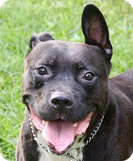 American Bulldog Mix Dog for adoption in Morris, Illinois - YAGO