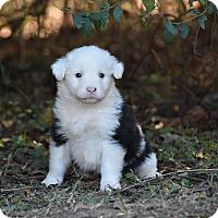 Adopt A Pet :: Falcor - South Dennis, MA