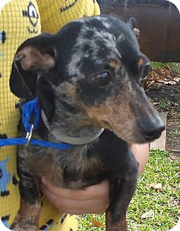 Dachshund Dog for adoption in Houston, Texas - DANNY (pending)