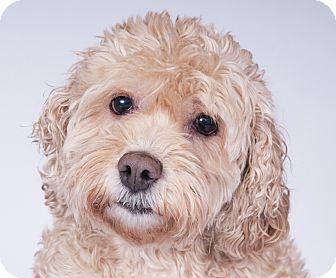 Cocker Spaniel/Poodle (Miniature) Mix Dog for adoption in Chicago, Illinois - Honey