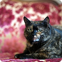 Domestic Shorthair Cat for adoption in Boise, Idaho - Tami